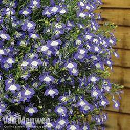 Lobelia 'Waterfall Ice Blue'