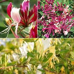Fragrant Honeysuckle Collection
