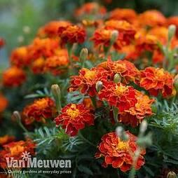 Marigold 'Firebird'