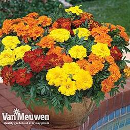 Marigold 'Durango Improved'