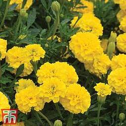 Marigold 'Boy O' Boy Yellow'