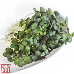 Microgreens Mizuna 'Red Empire' F1