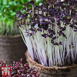 Microgreens Mustard 'Red Lace'