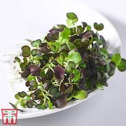 Microgreens Pak Choi 'Purple Rain' F1