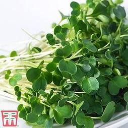 Microgreens Salad Rocket 'Victoria'