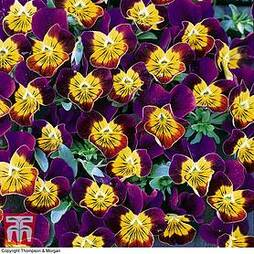 Viola hybrida 'Miniola Heart Purple'