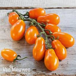 Tomato 'Mirado Orange' (grafted)