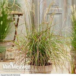 Miscanthus sinensis 'Ruby Cute'