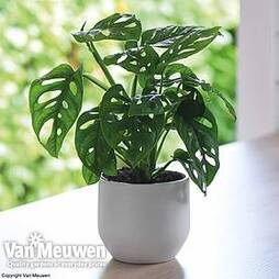 Monstera 'Monkey Leaf' (House Plant)