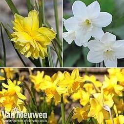 Narcissus Cornish Miniatures Collection