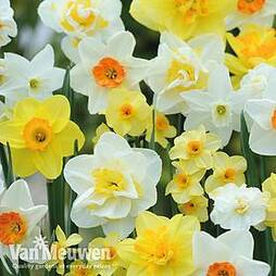 Narcissus 'Value Mixed'