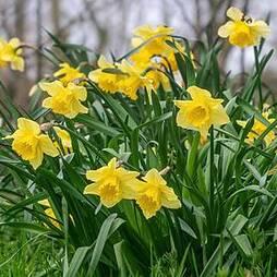 Narcissus Native British