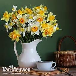 Narcissus 'Spring Flowering Mix'