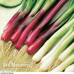 Spring Onion 'Red and White Mixed'