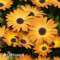 Osteospermum 'Serenity Sunshine Beauty'