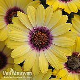 Osteospermum 'Blue Eyed Beauty'