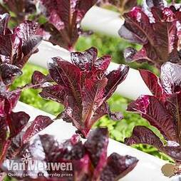 Lettuce 'Outredgeous' (Romaine)