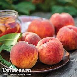Peach 'Avalon Pride'