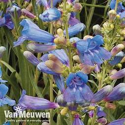 Penstemon heterophyllus 'Electric Blue'