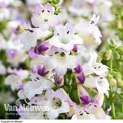 Penstemon 'Harlequin Lilac'