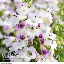 Penstemon 'Harlequin Lilac'