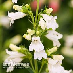 Penstemon 'Pensham Wedding Day'
