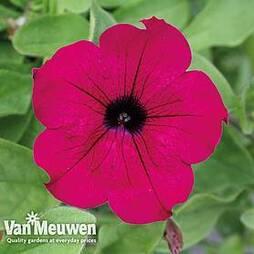 Petunia Surfinia 'Purple'