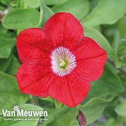 Petunia 'Surfinia® Blood Red'