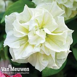 Petunia 'Susanna' (Tumbelina Series)