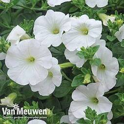 Petunia 'Surfinia® White'