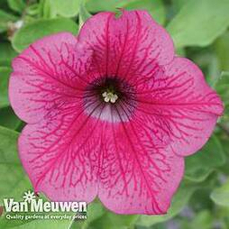 Petunia Surfinia 'Hot Pink'
