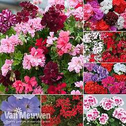 Nurserymans Choice Geranium Collection