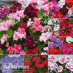 Nurserymans Choice Geranium Collection