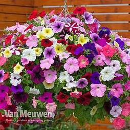 Nurseryman's Choice Petunia Collection