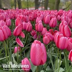 Tulip 'Pink Giant'