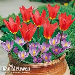 Plant-O-Tray Patio Preplanted Tulip & Crocus