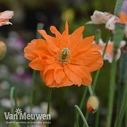 Poppy 'Double Tangerine Gem'