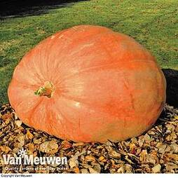 Pumpkin 'Dill's Atlantic Giant'