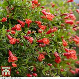 Dwarf Pomegranate Plant (House Plant Seeds)
