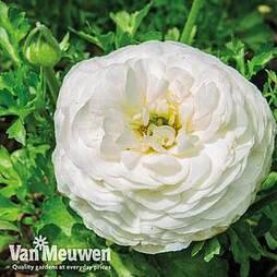 Ranunculus 'White'