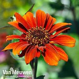 Heliopsis helianthoides 'Red Shades'