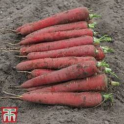 Carrot 'Red Sun' F1 Hybrid (Maincrop)