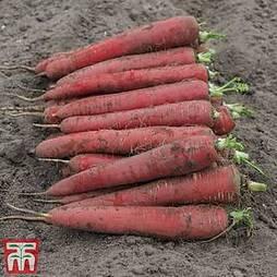 Carrot 'Red Sun' F1 Hybrid (Maincrop)