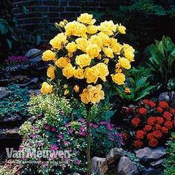 Rose Standard Yellow (40cm stem)