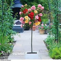 Rose 'Tricolour' (Standard)