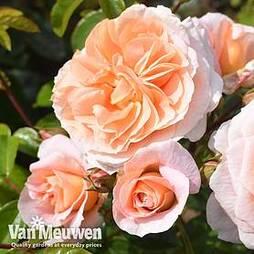 Rose 'It's A Wonderful Life' (Floribunda Rose)