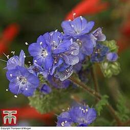 Phacelia parryii 'Royal Admiral'
