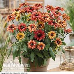 Rudbeckia 'Enchanted Embers'