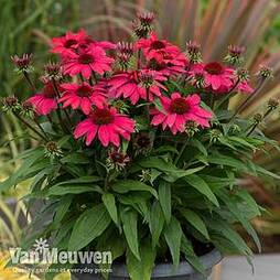 Echinacea SunMagic 'Vintage Red'
