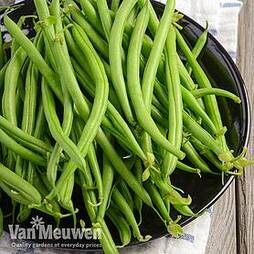 Dwarf Bean 'Safari'